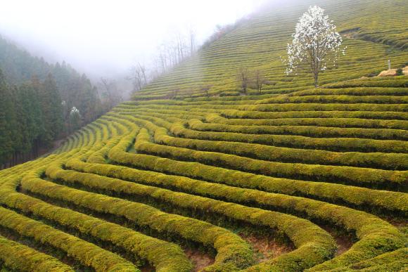 Green tea fields in Boseung